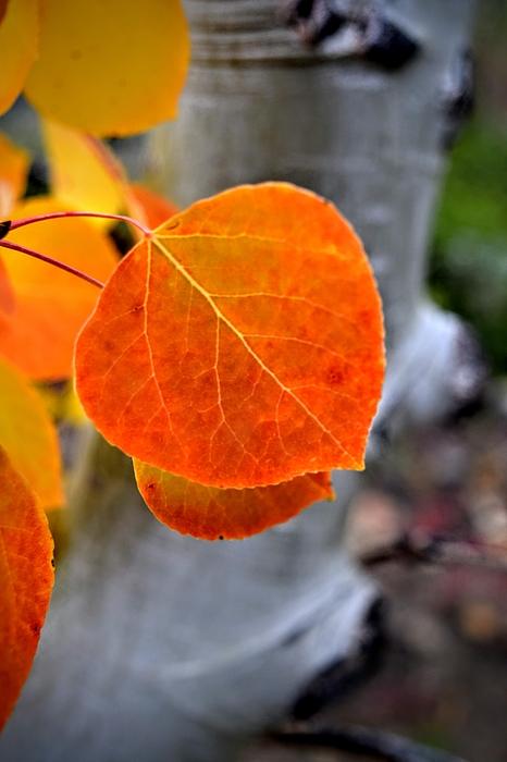 Aspen Red Leaf