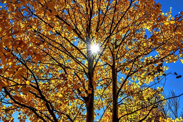 Aspen Tree in Sun